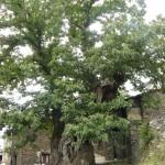 Najstarejši kostanj ob poti, star 800 let, obseg 8,5 m, premer 2,5 m.