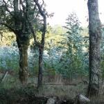 Po poti vidimo še evkaliptusov nasad.
